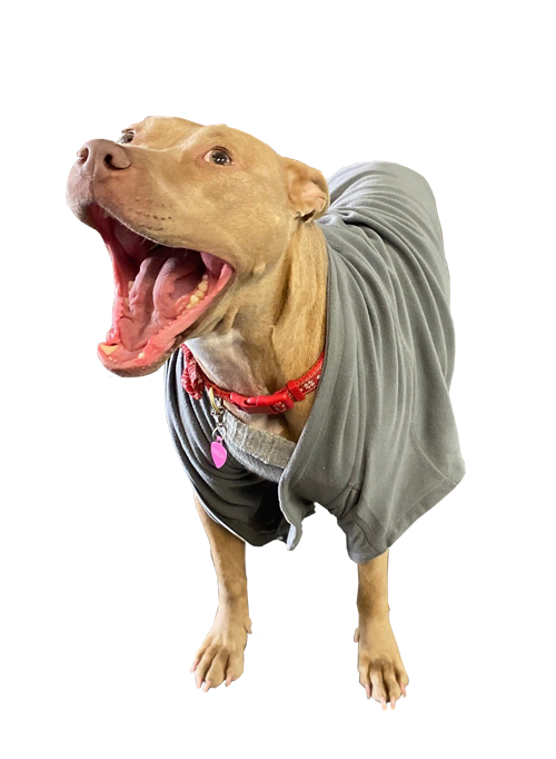 golden pit bull wearing a sweater and smiling