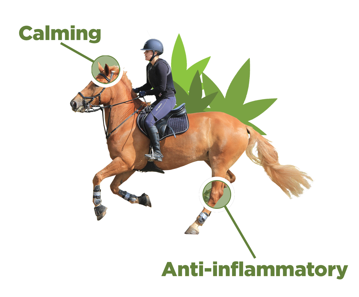 rider on eventing horse with calming and anti-inflammatory text